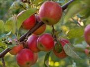 Kahve Falında Elma Ağacı Görmek